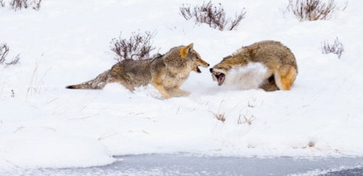 Coyotes-Fight