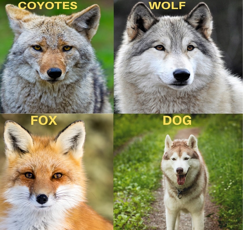 Coyotes-Look-Like
