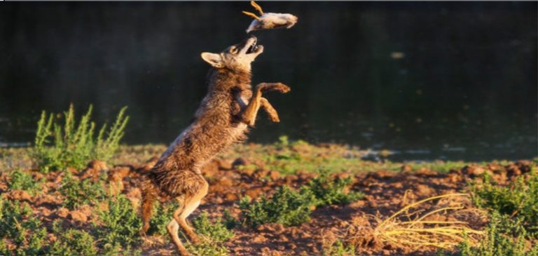 Coyotes-hunting-in-wild
