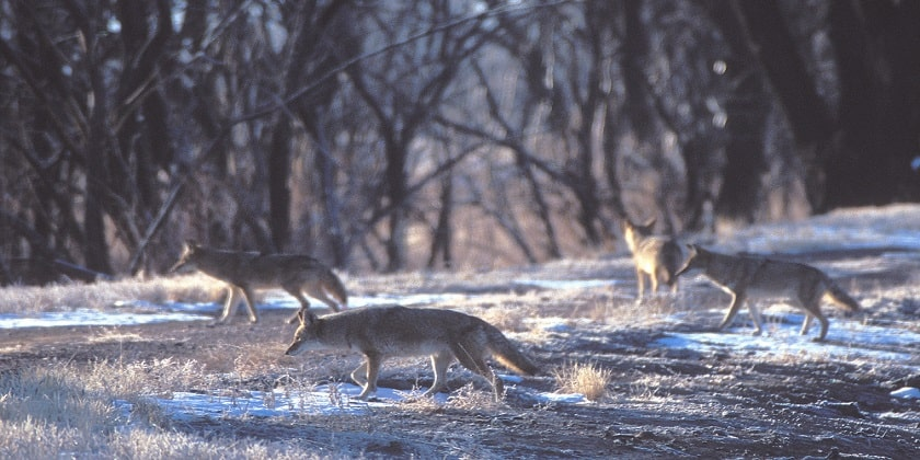 Coyotes-travelling-in-pack