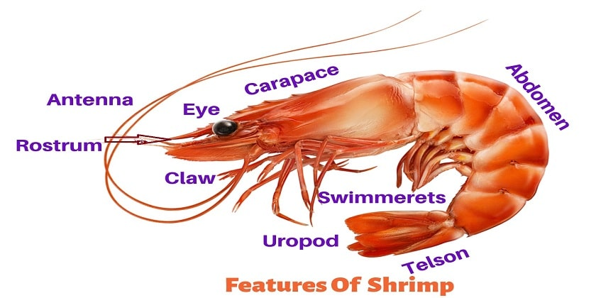 Features-Of-Shrimp