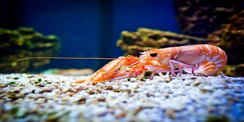 Shrimp-Help-To-Clean-Water
