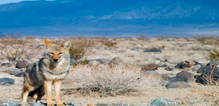 what-do-coyotes-eat-in-desert