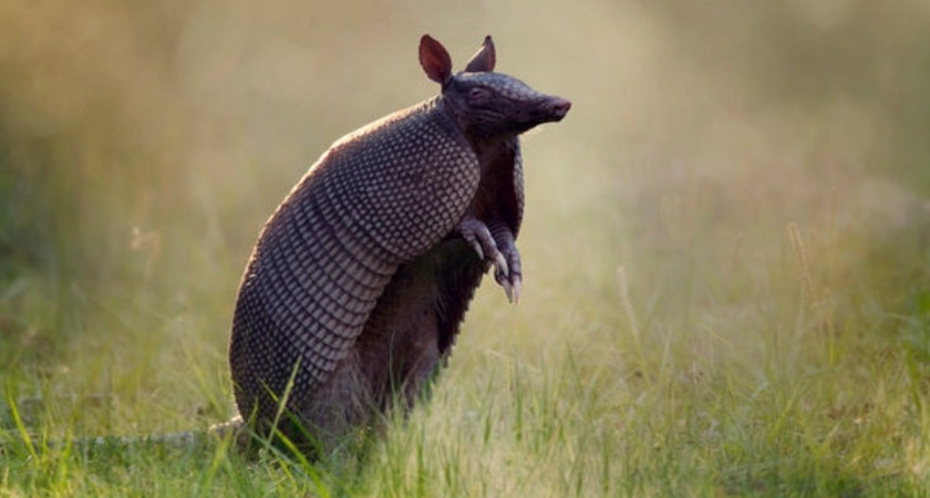 Where-Do-Armadillos-Live
