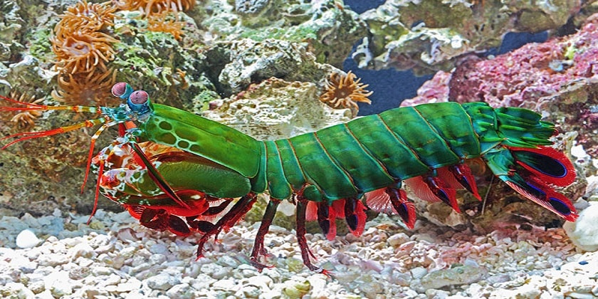 Mantis-Shrimp-In-Aquarium