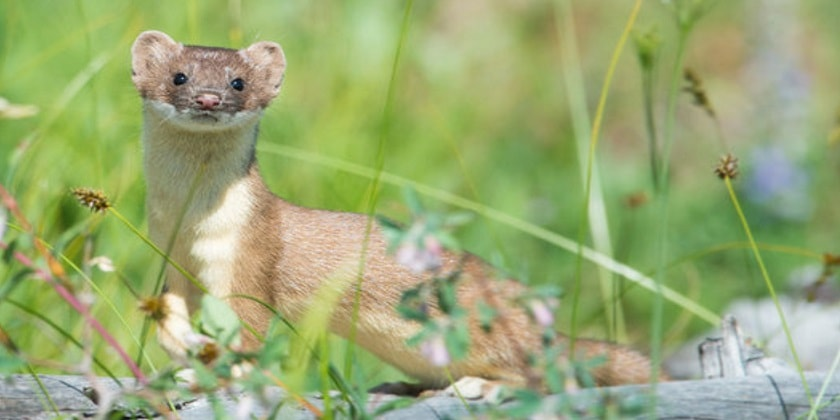 long-tailed-Weasels