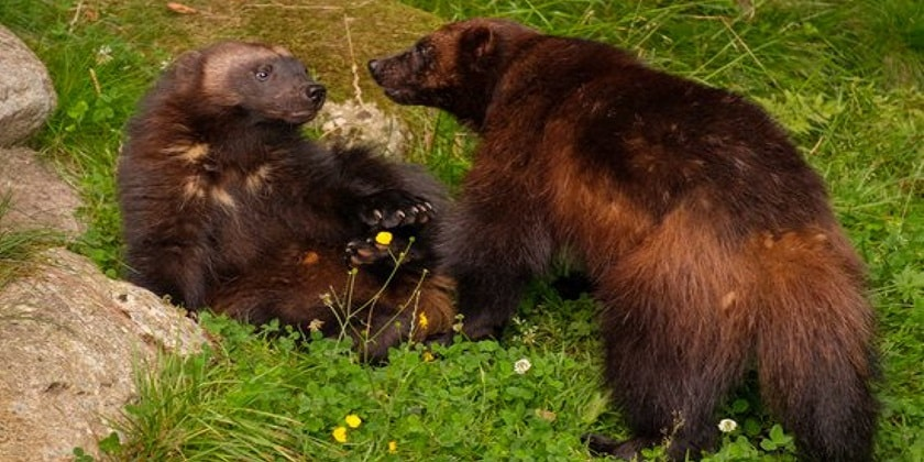Wolverines-Mate