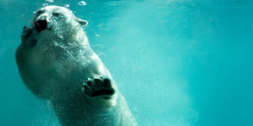 Polar-Bear-Swim-Facts